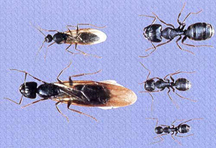 carpenter_ant_family