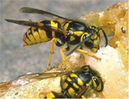 yellow_jackets